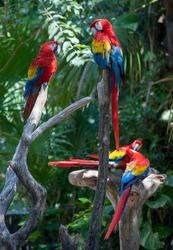 Multicolor parrots in tropical jungle. Exotic birds