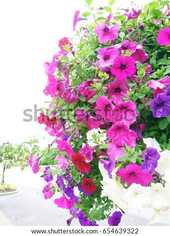 multicolor petunias flower hanging basket