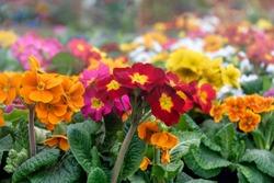 Multicolor Primrose (primula vulgaris) first flower blossoming. Hence name primrose or primula. Colorful perennial primroses flowers in spring garden.