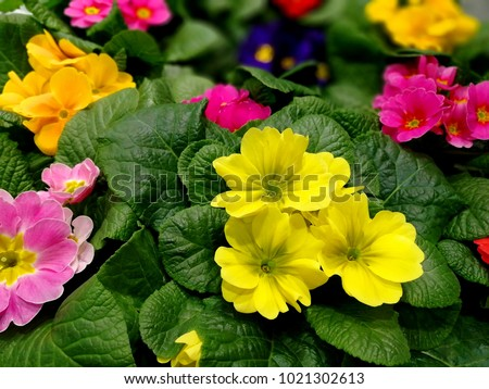 Multicolor Primrose (primula vulgaris) first flower blossoming. Hence name primrose or primula. Perennial yellow primrose in spring primula garden. Colorful pink primroses flowers, primula polyanthus.