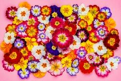 Multicolor Primula Flowers frame, top view. Vivid Live wall of Country Garden Primula Primrose Multicolored full bloom. Primrose Primula Vulgaris blossom.