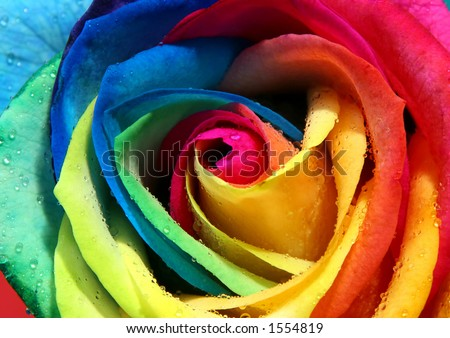 Multicolor rose