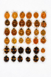 Multicolored Asian lady beetles isolated on white