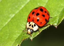 Multicolored Asian ladybird / ladybug (Harmonia axyridis) on a plant leaf.