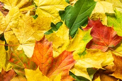 Multicolored autumn leaves. Background from yellow, green and red maple foliage