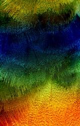 multicolored bird plumage, macro photo