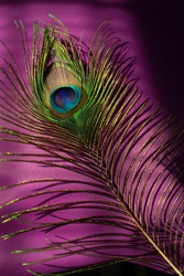 Multicolored bright peacock bird feather on vertical violet background
