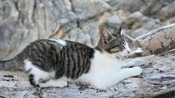 Multicolored cat lying on the rocks near the Aegean sea coast in Greece