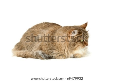 Multicolored  Cat on white background - Siberian cat