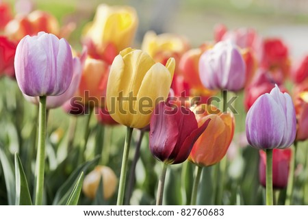 Multicolored collection of tulips