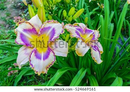 Multicolored daylilies (hemerocallis) in the garden