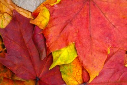 multicolored dry autumn leaves. background for designer