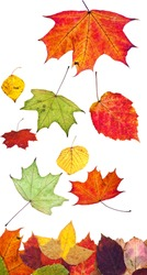 multicolored fallen autumn leaves isolated on white background