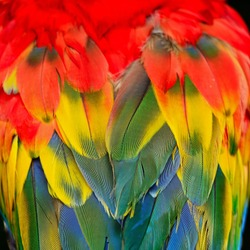 Multicolored feathers, Scarlet Macaw feathers background texture