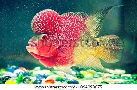 Multicolored fish with strange shapes in an aquarium with colored stones on the bottom. Seen from the side.