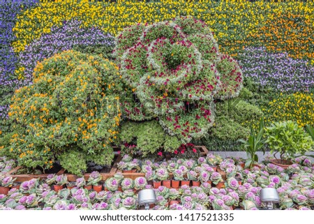 Multicolored floral decoration. A flower background. ornamental cabbage or flowering kale in organic agriculture plantation in Shanghai, China