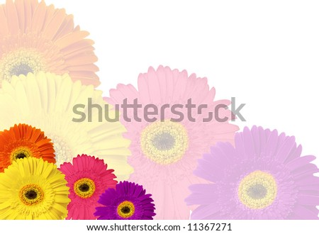 multicolored gerber daisy background on white