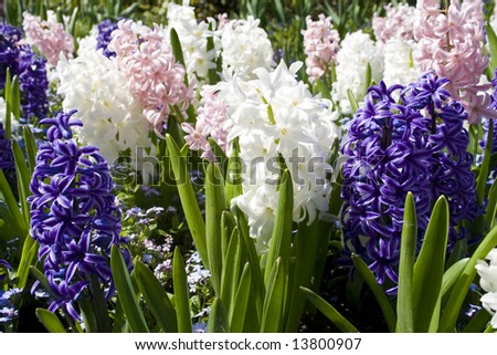 Multicolored hyacinths in bloom in early spring - stock photo