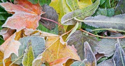Multicolored leafs with a frost in a morning.