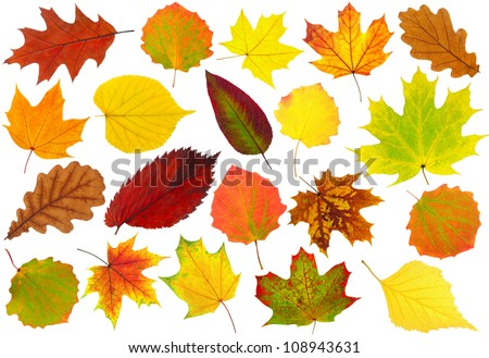 Multicolored leaves. Colorful autumn leaves collection isolated on white background #108943631