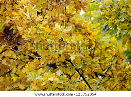 Multicolored leaves of an oak tree.