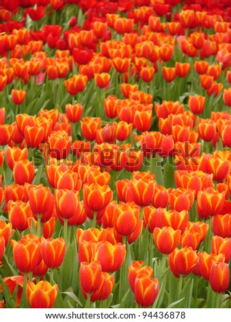 Multicolored of Beautiful tulips