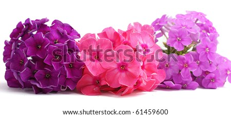 Multicolored phlox flowers on white background