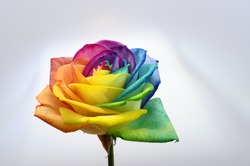 Multicolored rose flower, close up of rainbow rose or happy rose