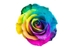 multicolored rose isolated on white background