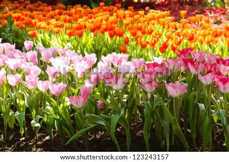 Multicolored tulip field - stock photo