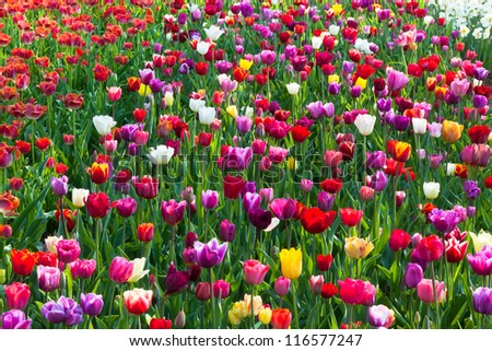 Multicolored tulip field in Holland. Horizontal shot