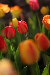 Multicolored tulips in Albany New York