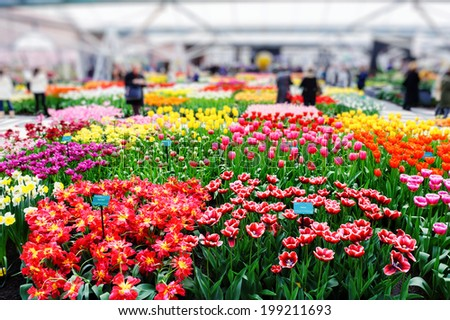 Multicolored tulips in Keukenhof orangery