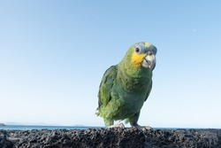Multicoloured parrot on volcanic rock, in front of the sea on playa blanca, Lanzarote, Canary Islands, Spain.
