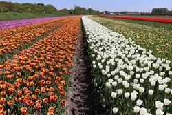 Multicoloured tulip lines. Tulip field in Netherlands.