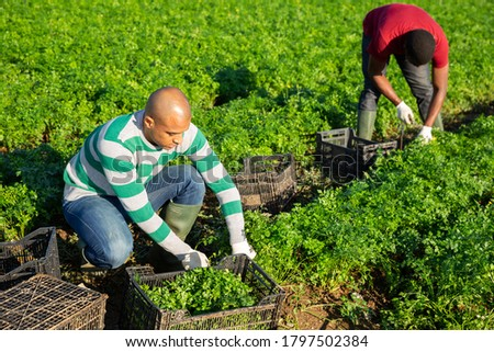 Multinational team of gardeners picking parsley at vegetable farm, seasonal horticulture Foto stock ©