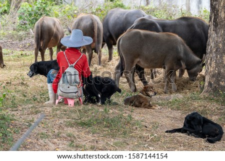 Multiple buffalo and 3 dogs and 1 person