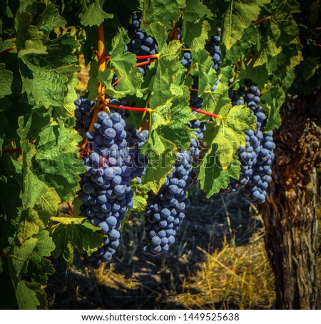 multiple bunches of black ripe grapes hanging from the vine with leaves in background #1449525638