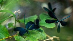 Multiple damselflies / dragonflies (beautiful demoiselle / Calopteryx virgo) sitting and flying around leaves near a small river.