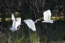 Multiple Exposures of Large White Bird Taking Flight in Sunlit Florida Swamp