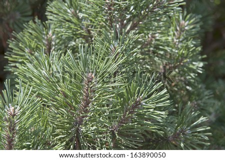 Multiple, green, pine tree leaves on sunny day with lots of detail on focus on them.