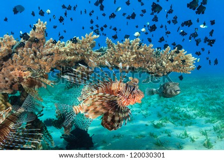 Multiple lionfish, puffer and other tropical fish swim around a table coral