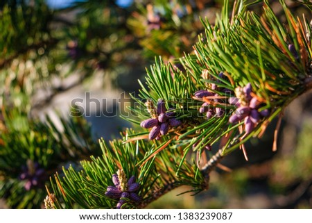 Multiple New Tiny and Colorful Pine Cone Clusters Surrounded by Pine Needles