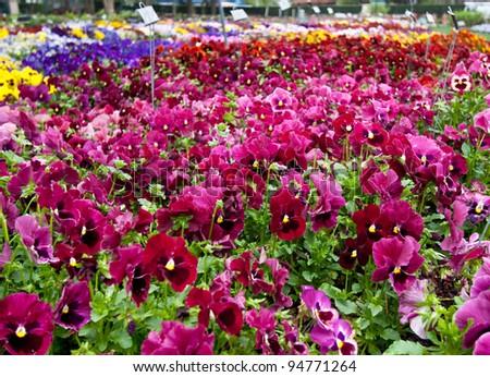 Multiple varieties of pansy flowers growing in flowerbeds
