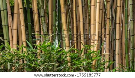 Multiplexing bambusa, Hedge bamboo. Alphonse Karr Yellow Clumping Hedge Bamboo -  Bambusa Multiplex Zdjęcia stock ©