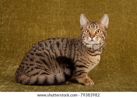 Munchkin kitten in studio on green background
