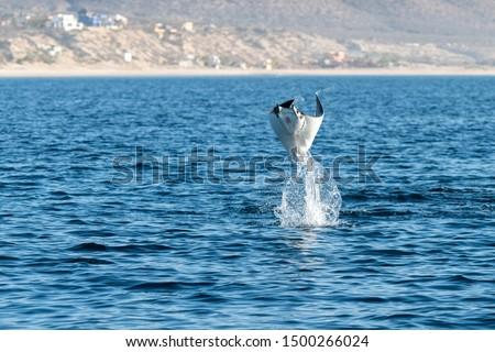 Munk's devil rays, mobula munkiana, breaching in the early morning along the coast of Baja California, Mexico. Stock fotó ©