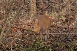 Muntjac Deer really well camouflaged in the woodland during autumn. Female muntjacs (does) often call to attract males (bucks) when they are in season, they are mostly solitary animals.