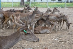Muntjacs also known as barking deer or rib-faced deer that are in a zoo with a stretch of land and grass are in groups or alone. Some of the deer are walking. The deer are many and in groups.