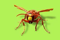 Murder hornet vespa mandarinia Asian giant hornet known as killer bee